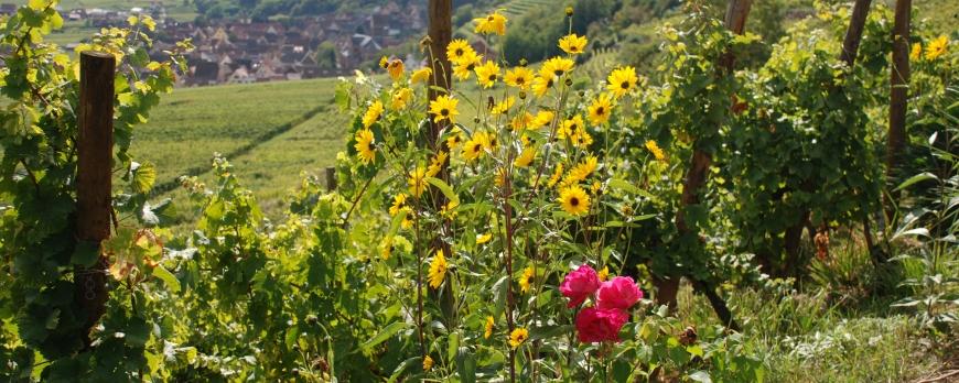 'Alsace, un mariage d'amour entre cépages et terroirs': 'Le Clos Saint-Imer, une splendeur.'