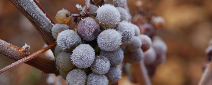 le vignoble s'est engourdi pour les fêtes :)